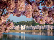 Martin Luther King, Jr. Memorial surrounded by cherry blossoms - Free things to do in Washington, DC