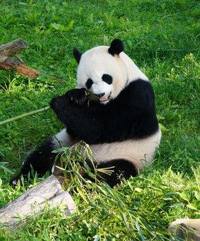 Smithsonian National Zoo Giant Panda