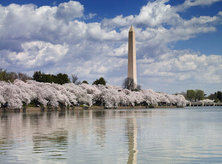 Washington Monument from the Tidal Basin during cherry blossom season - The National Mall in Washington, DC