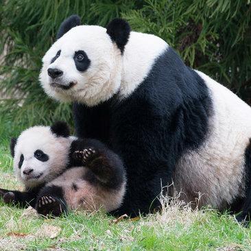 pandas playing