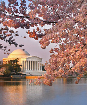 Jefferson Blossoms at sunrise